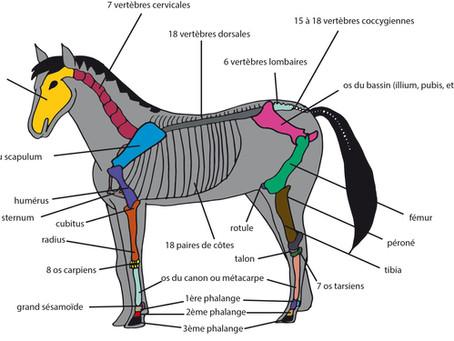 #galop 5 - Le squelette du cheval