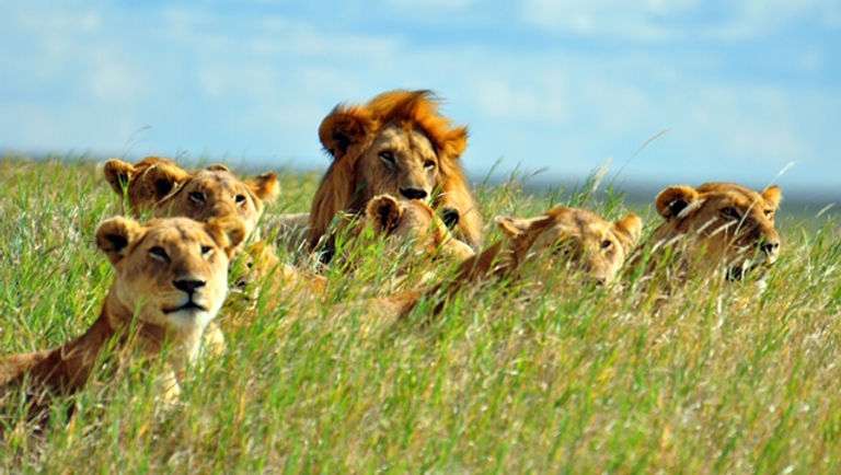 Lions Serengeti_1111_dt_15503915.jpg