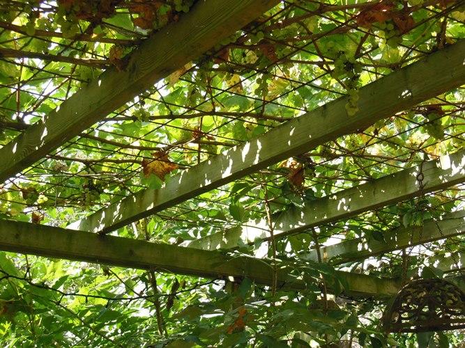 druivenranken