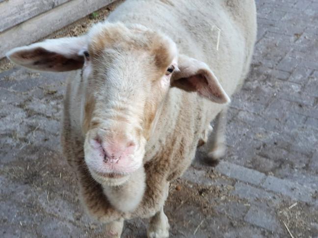schat van een schaap