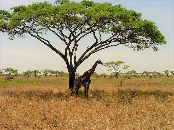Giraffe and other animals find hadeunder the spreading cacia trees of the Kitengela plains