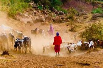 Maasai herding cattle.jpg