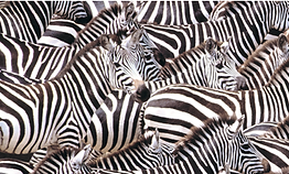 Lots and lots of zebra