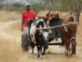 In Kitengela, ox-cart are used as hardy transportation vehicles