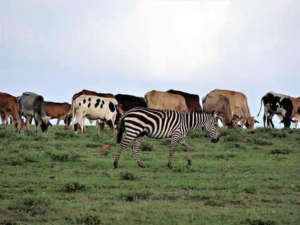 Livestoc and wildlife minge on the Kitengela plains