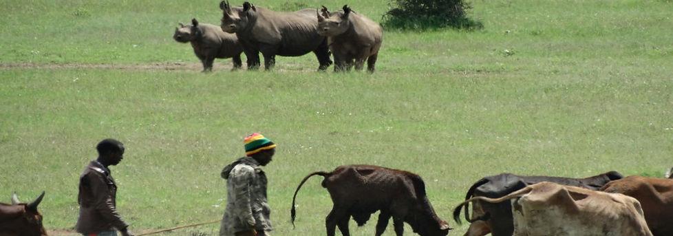 Massai herd their cattle near rhinos near Nairobi National Park