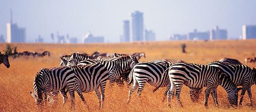 Wildlife grazes in Kitengela, not far from Nairobi city.