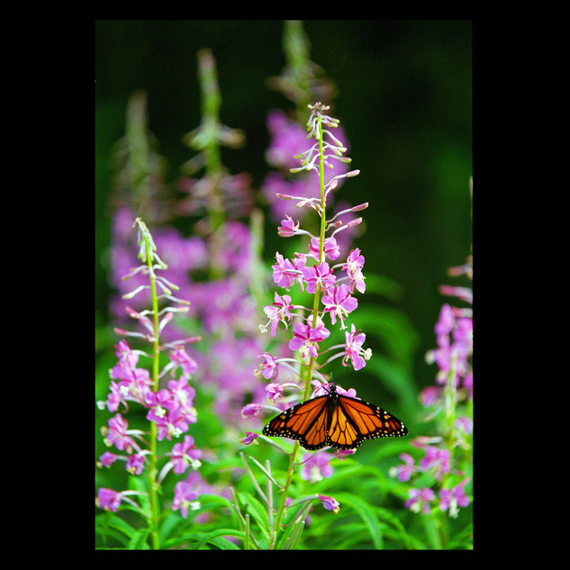 Wix Archive A2 butterfly.jpg