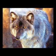 Wix Archive A4Wolf.jpg