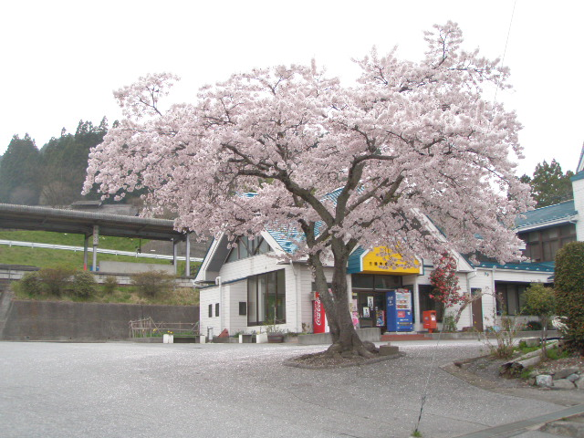 三陸駅の桜