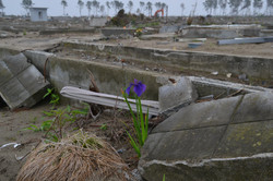 arahama one iris blooms from ground angle with debris.JPG