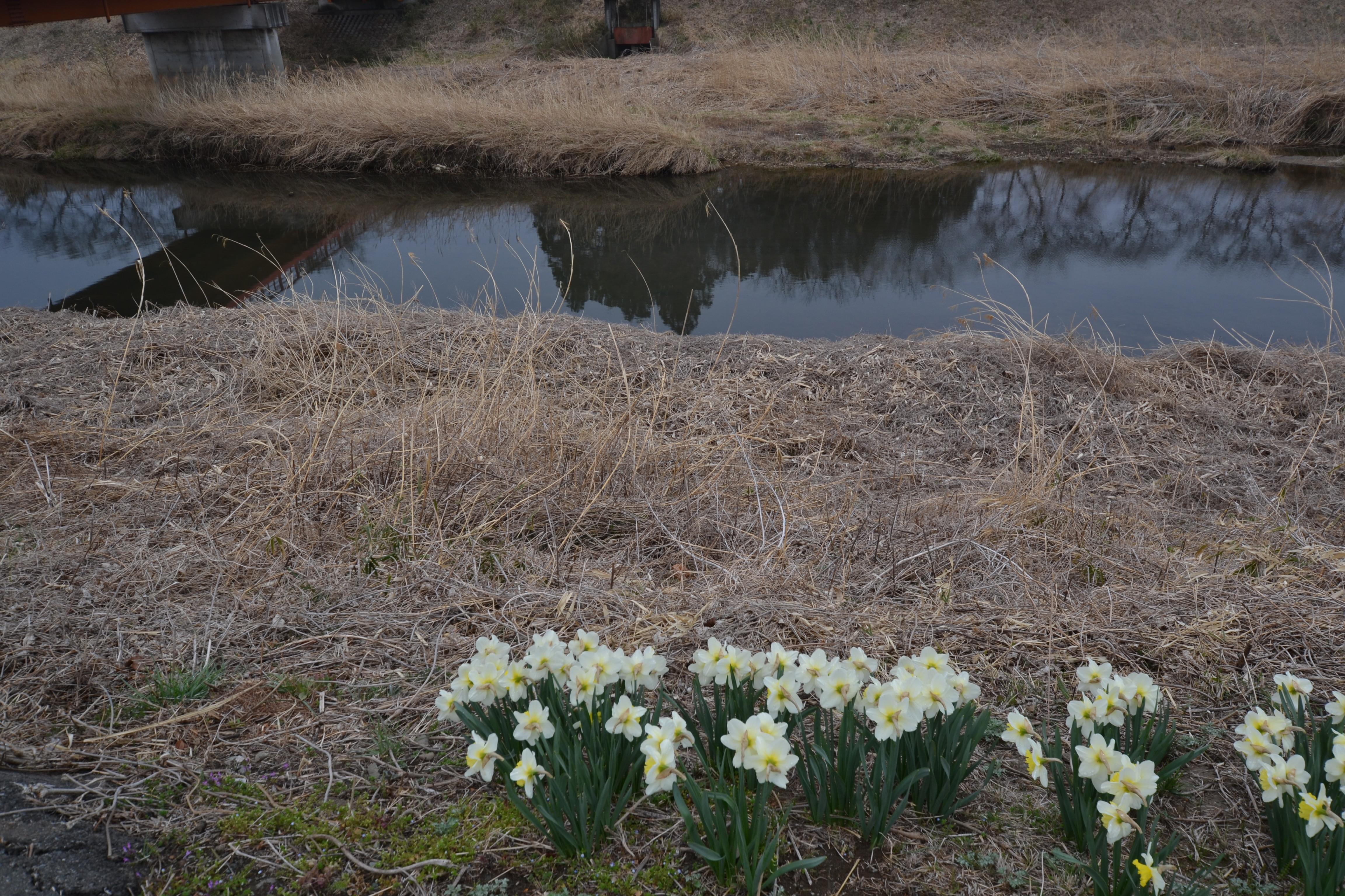 odaka no go zone area. daffodils disobey and still live to bloom.JPG