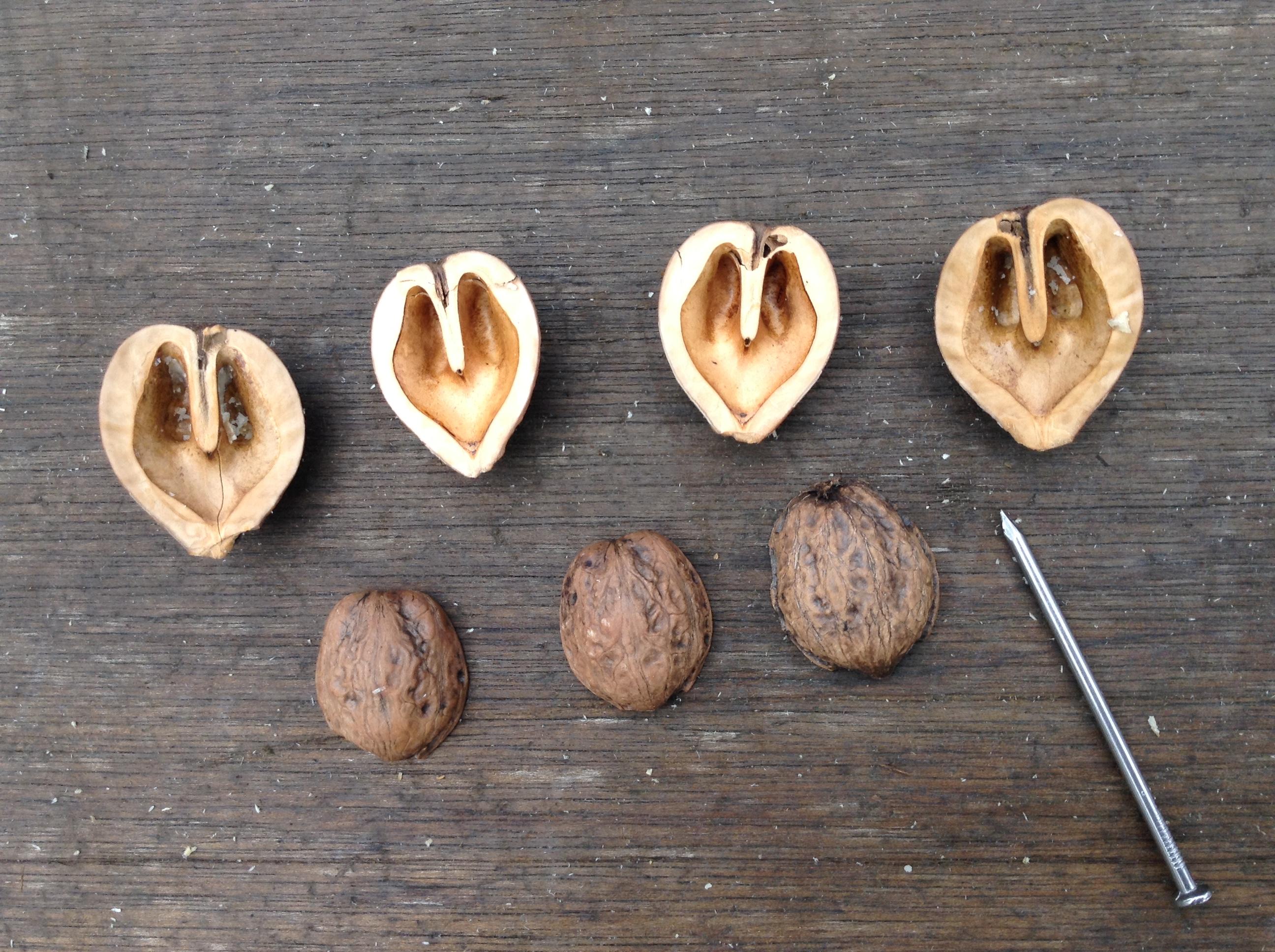 otsuchi grandpa walnut hearts.JPG