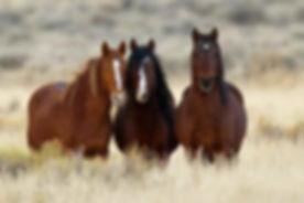 ar-wild-horse-roundup.jpg