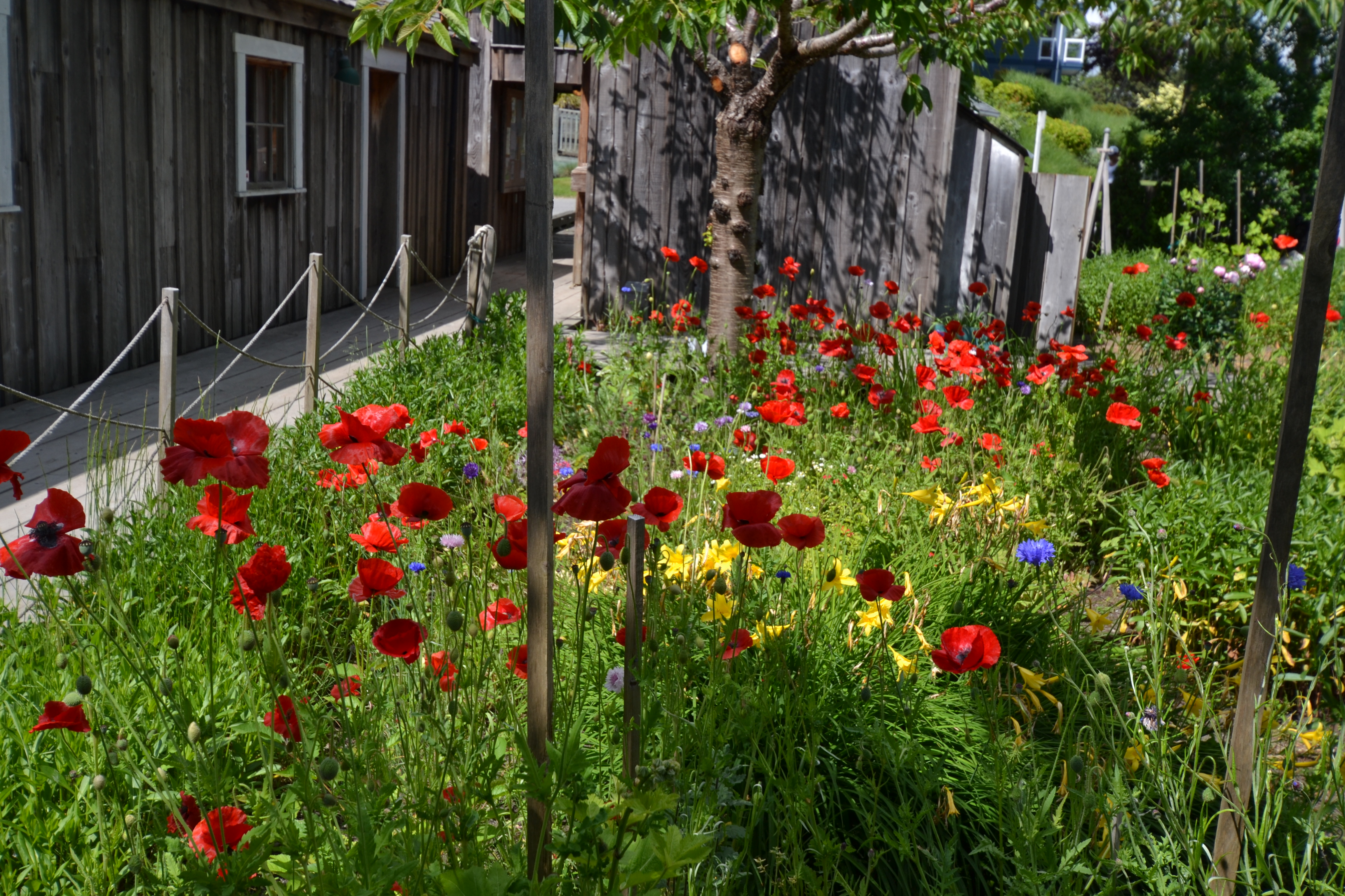 obaachan garden garden red poppies.JPG
