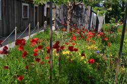 obaachan garden garden red poppies.JPG