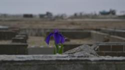 arahama one iris blooms in debris 2.jpg