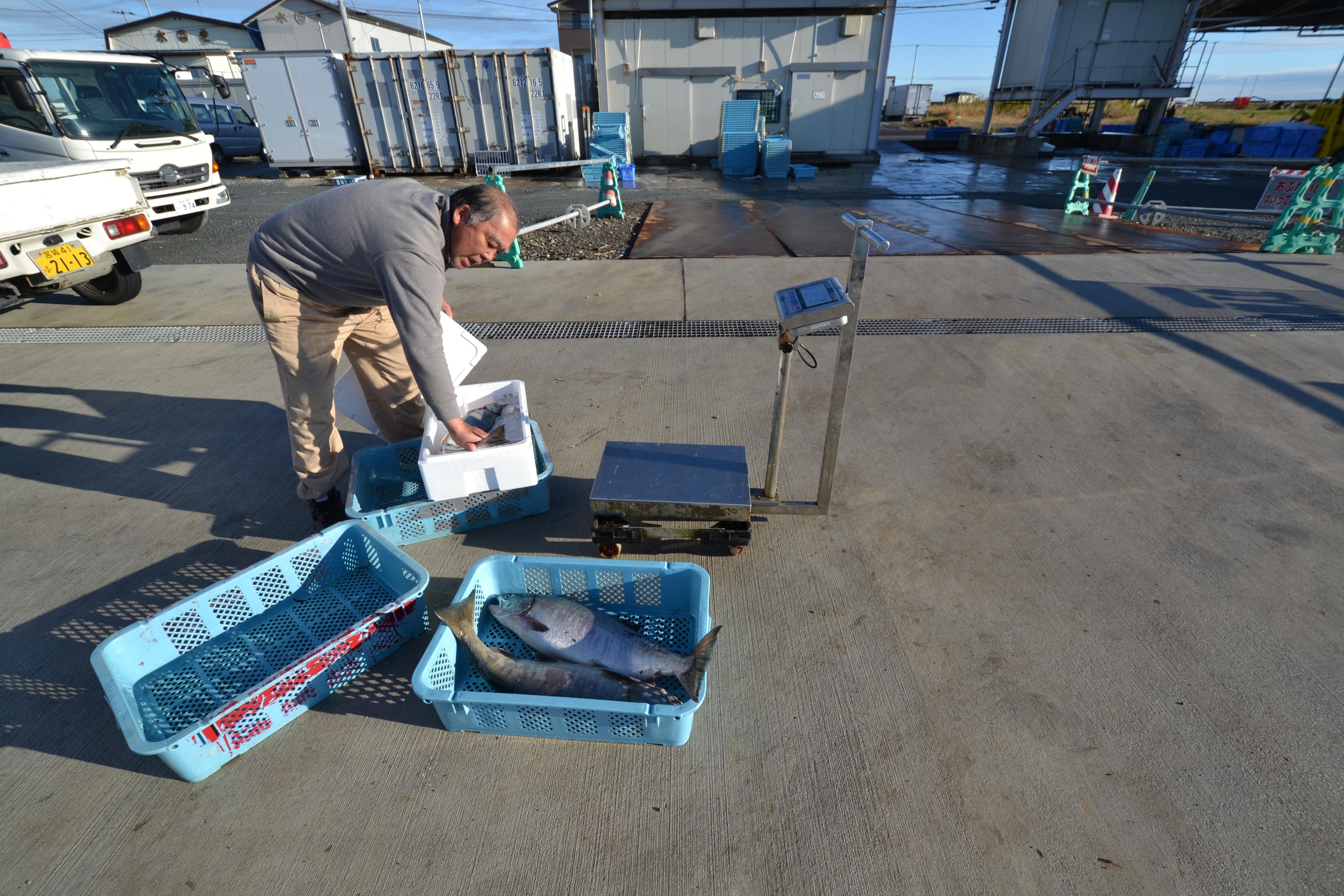 watari fish port catch on dock salmon catch.JPG