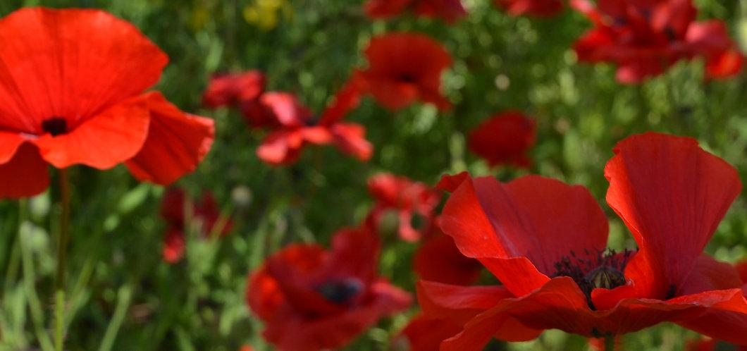 obaachan's garden CU poppies.JPG