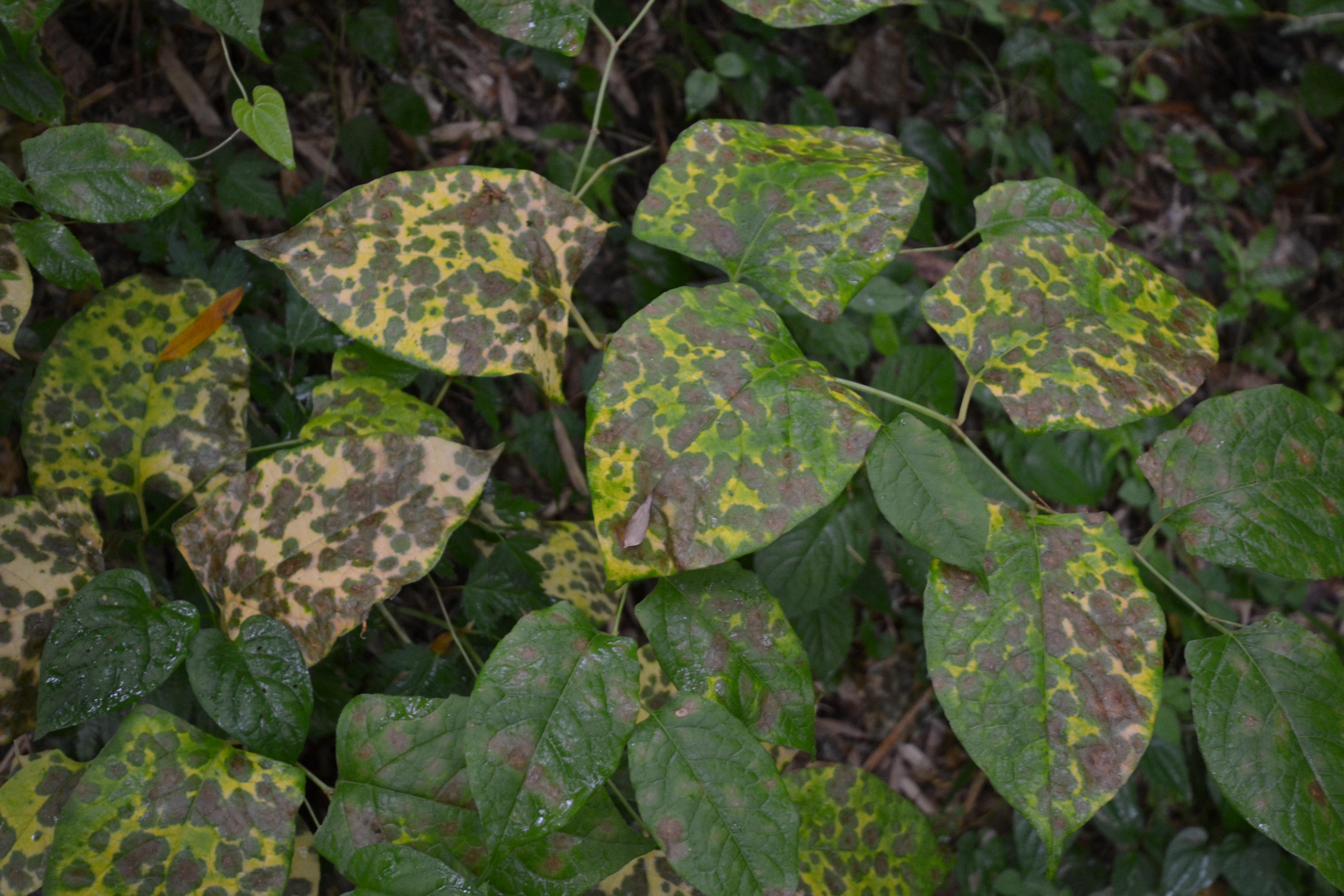 marumori contaminated leaves.JPG