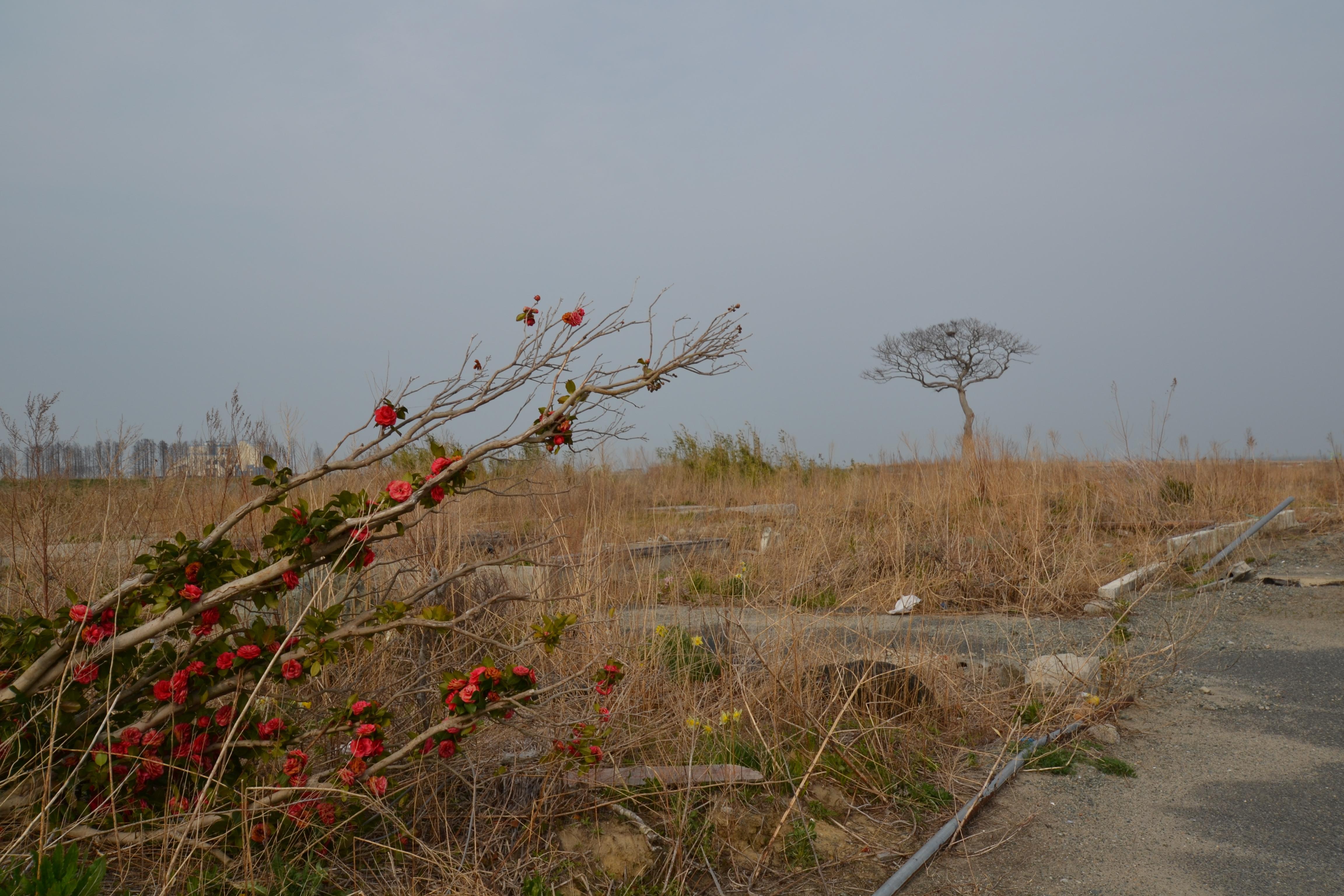 Namie gardens still bloom in the debris April 2013.jpg