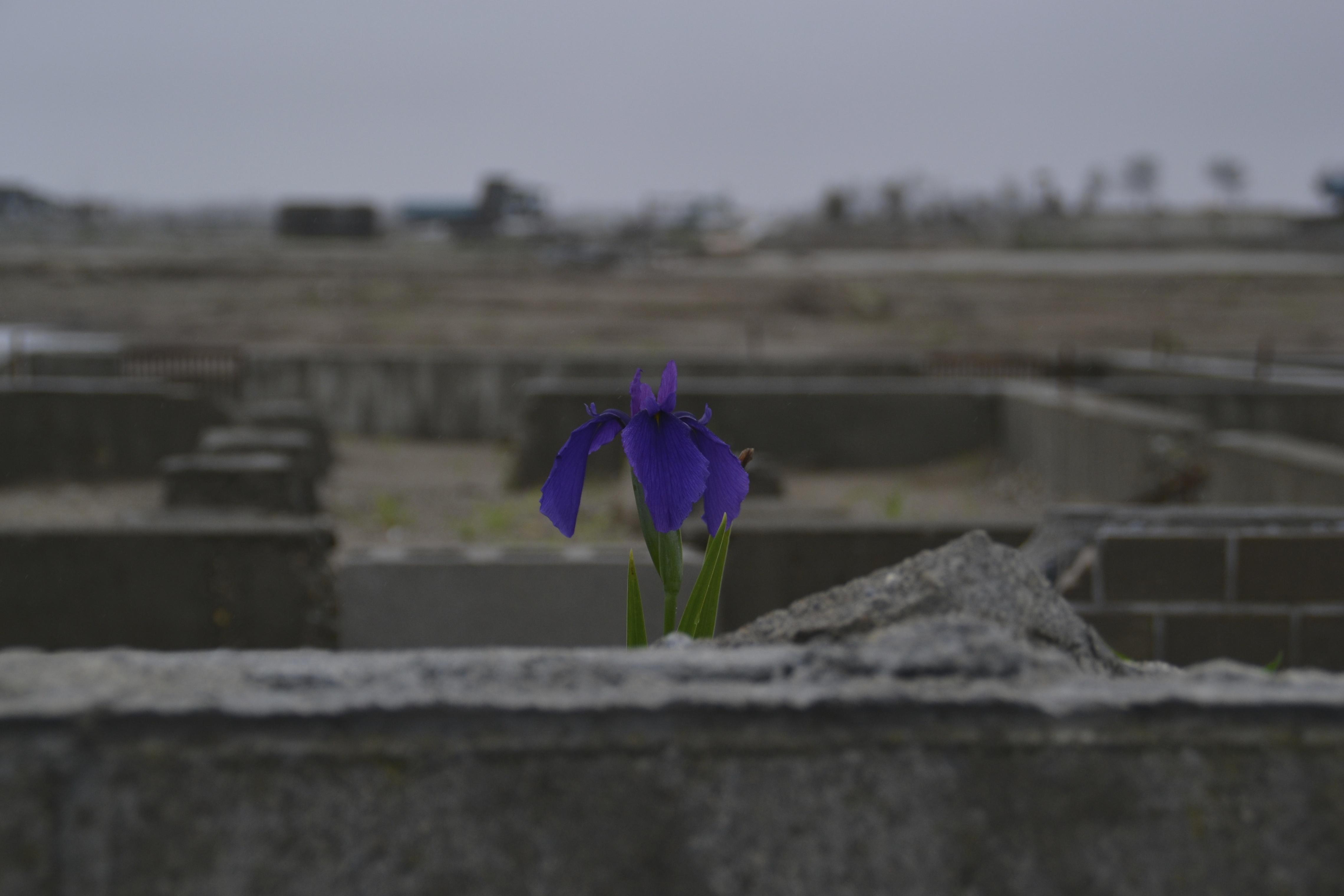 arahama one iris blooming in debris.jpg