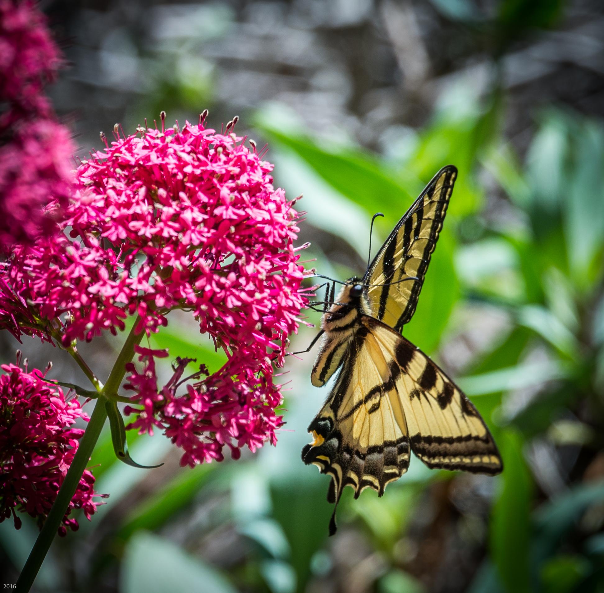 2016 0403 butterfly 1-3264