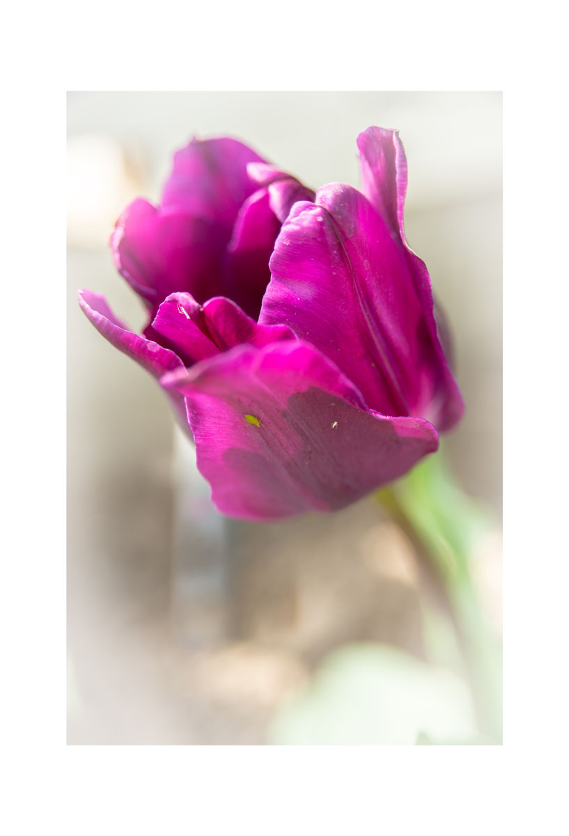 2016 PurpleTulip