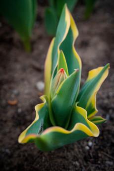 2019 Tulips 02 -1196.jpg