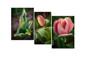2020 0122 Tulips Trio bloom.jpg
