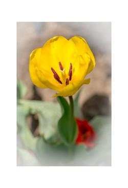 2016 Yellow Tulip