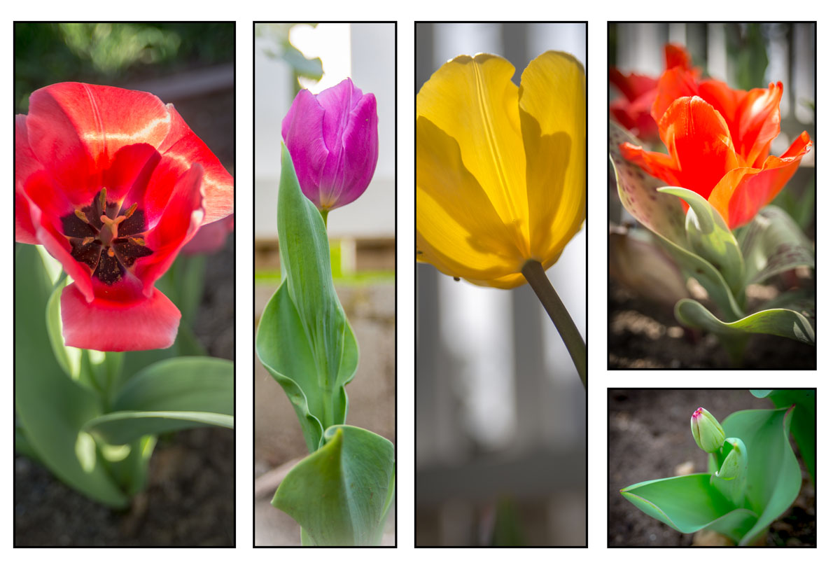 2016 Simply Tulips Collage