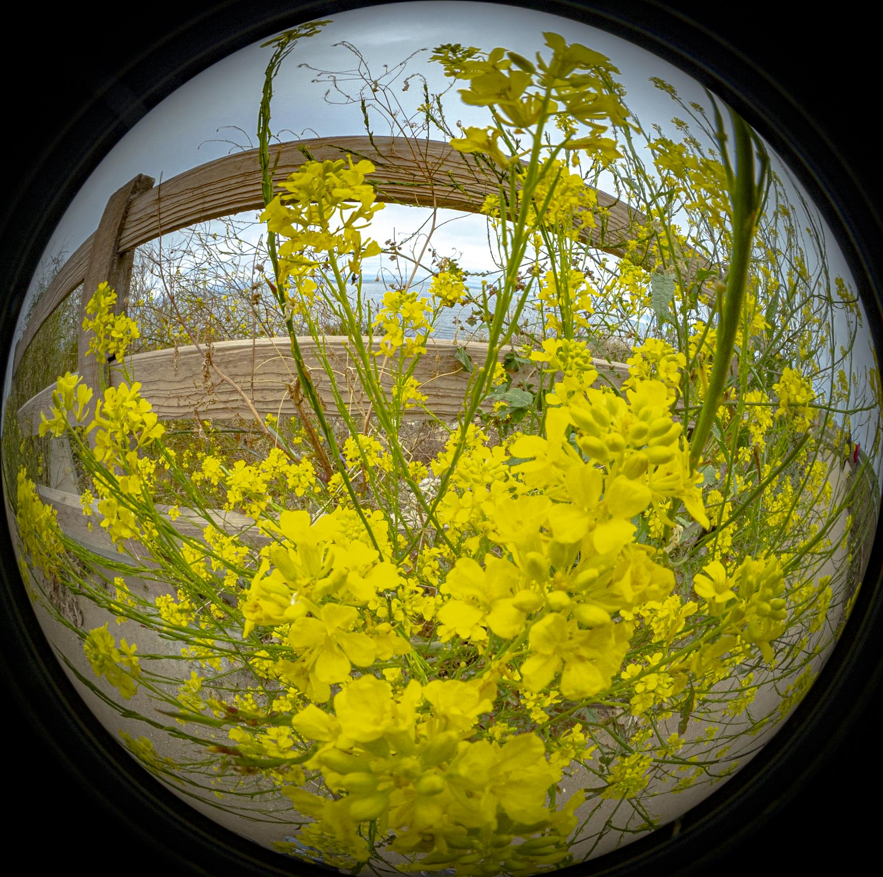 2019 06 Mustard Bubble-00170