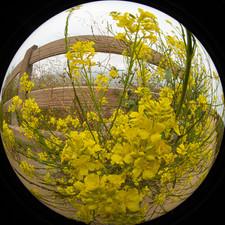 2019 0603 Mustard plant on walk fisheye-