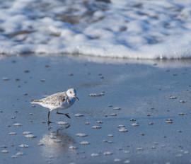 2015 1110 2 Little Bird on Shore in San Simeon-6975.jpg