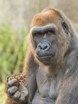Gorilla from LA Zoo - 2016 LA Zoo Ph