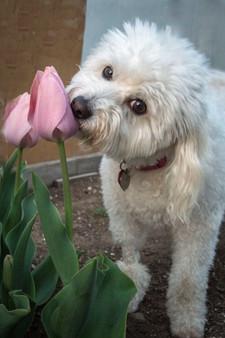 2019 Tulips 06 n bea-1199.jpg