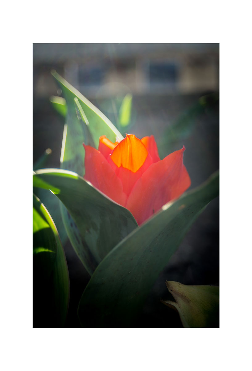 2016 Orange Tulip