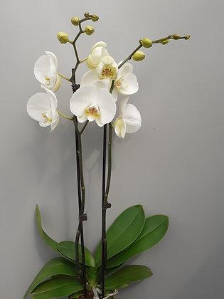 Orchidee van Perkoplant