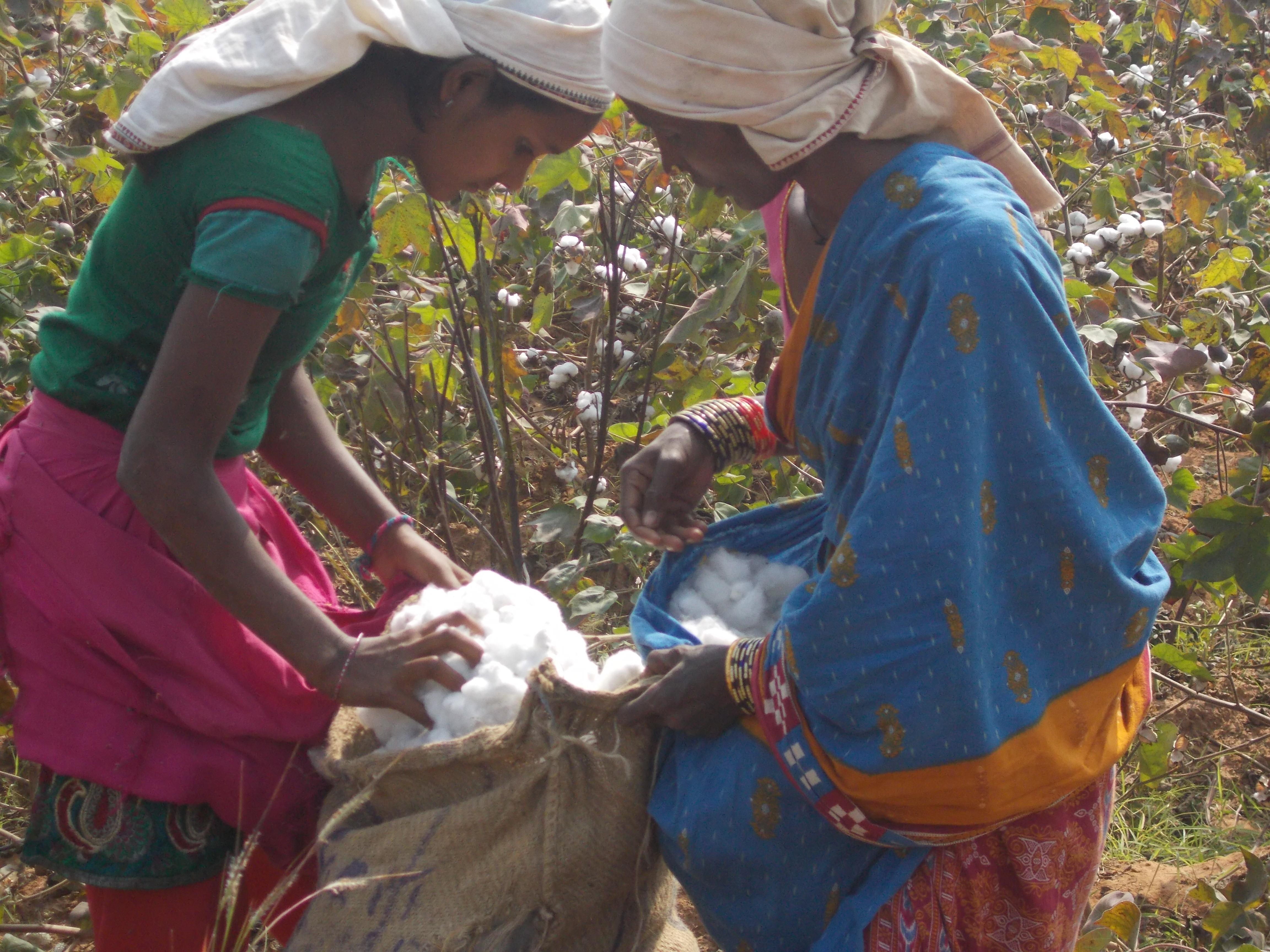 フェアトレードコットンの畑で収穫する女性