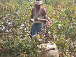 フェアトレードコットンの畑で作業する男性