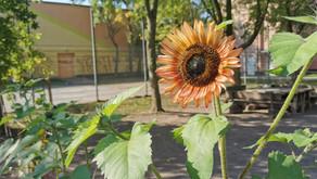 Schulgartenprojekt: Langsam wächst es dort.. und dort