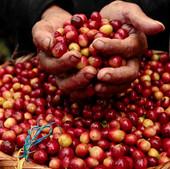 how-is-sumatra-coffee-made.jpg