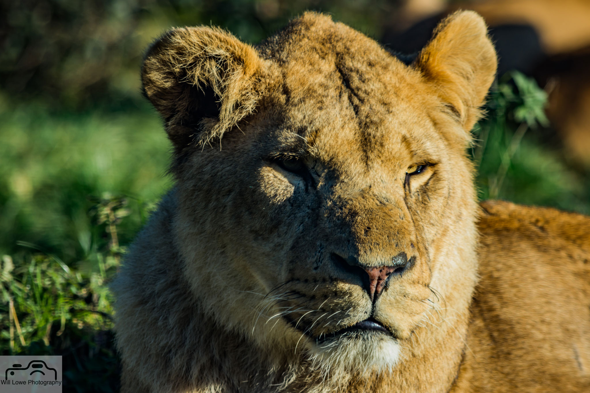 Lioness - Longleet
