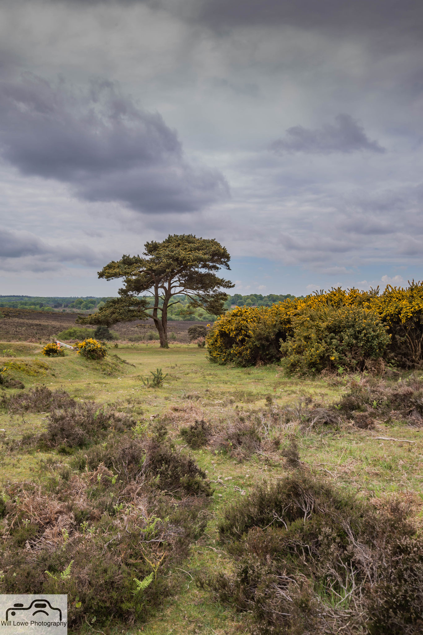 Lone Tree Bratley View - New Forest