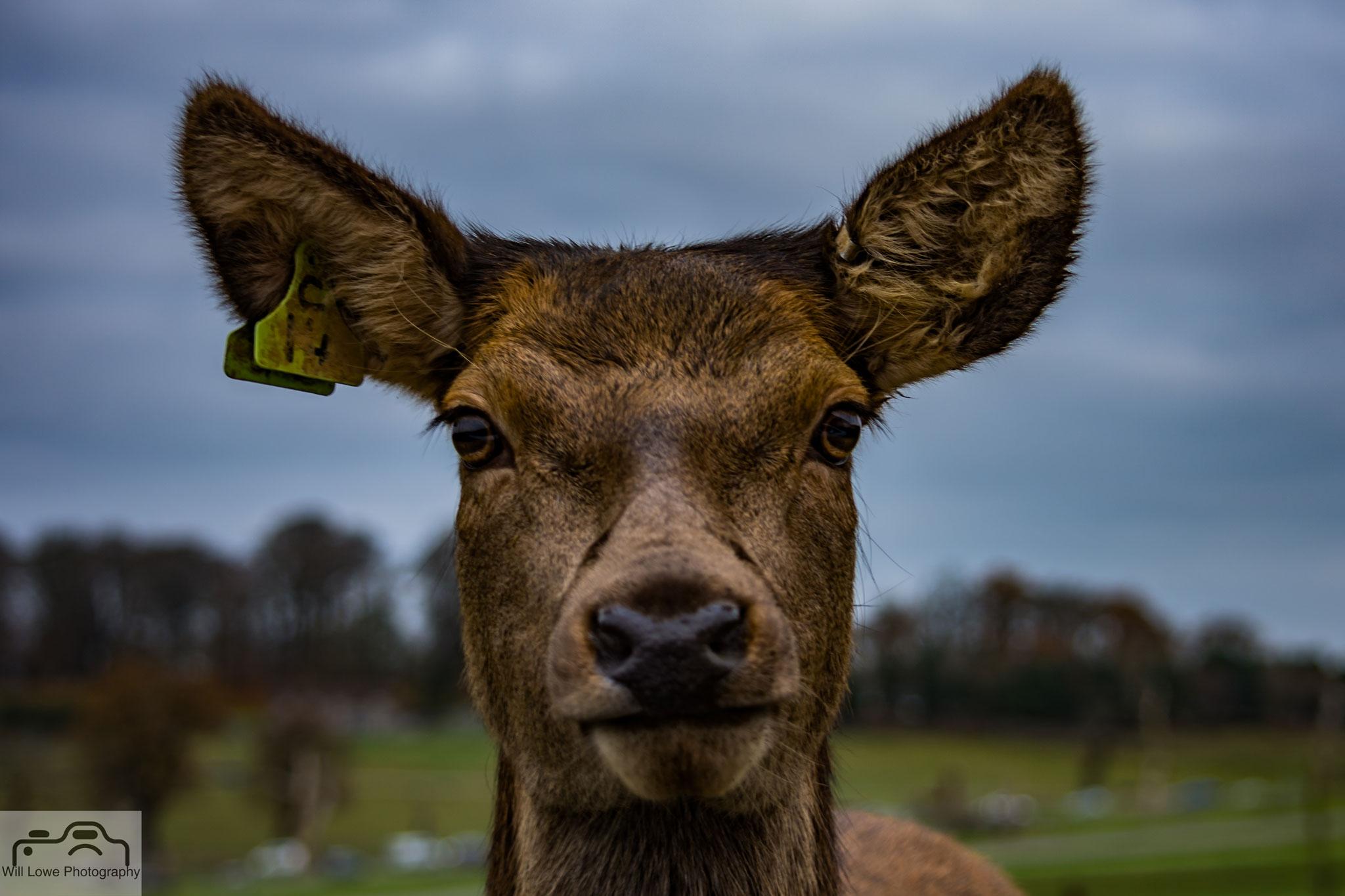 Deer - Longleet