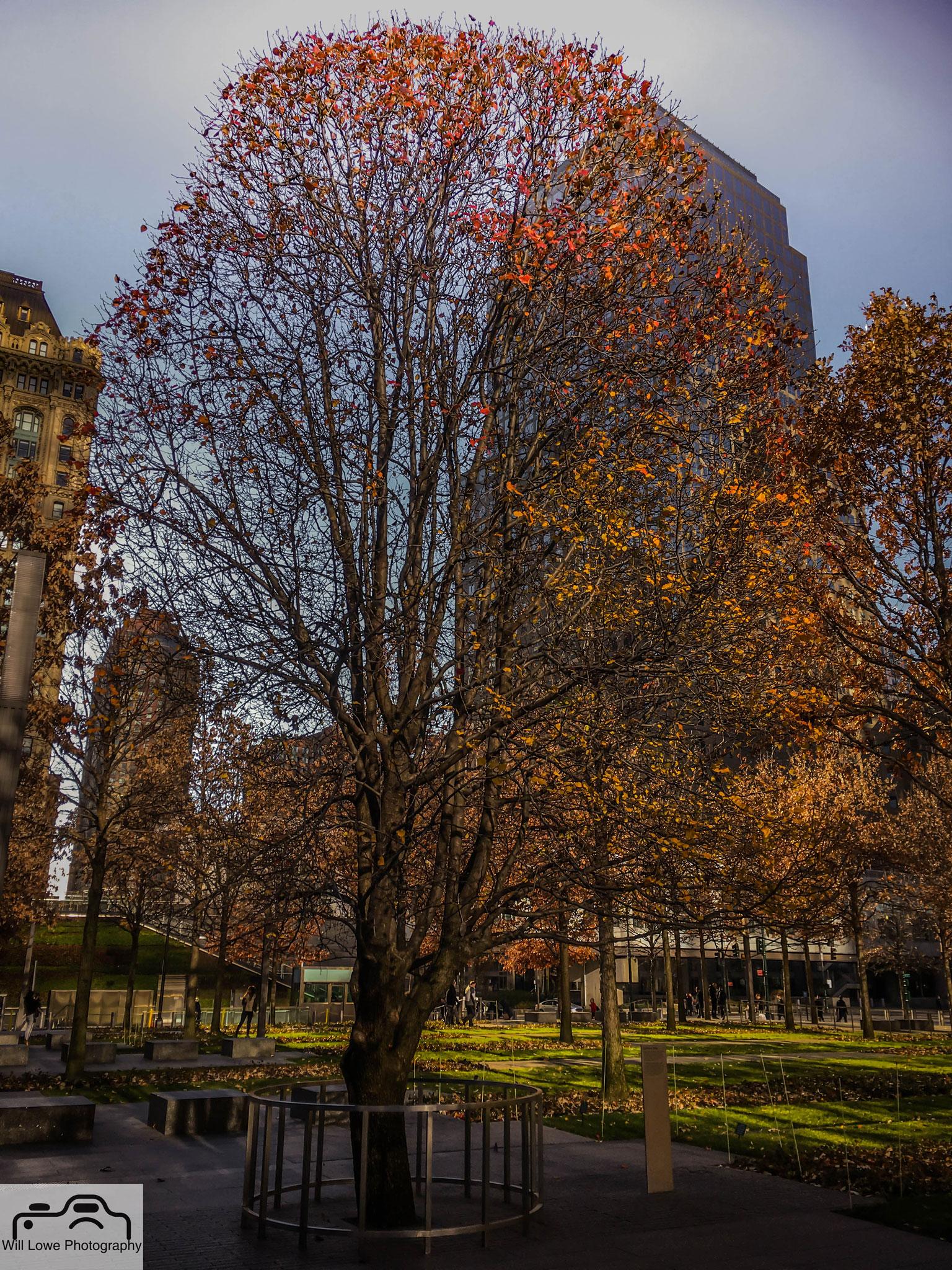 Survivor Tree - 9/11 Memorial NYC