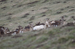 Fallow with albino stag