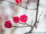 plum-blossom-2514631_1280.jpg