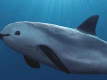 Il cetaceo più piccolo del mondo rischia di scomparire per sempre